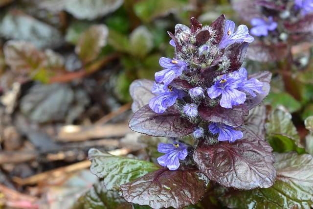 Ajuga 'Chocolate Chip' flowers