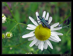 Oedemera nobilis - Photo of Saint-Sylvain