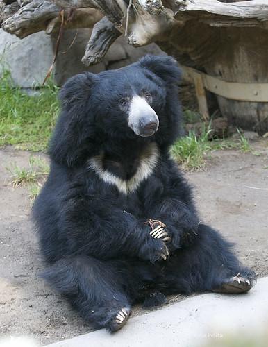 Ken -Sloth Bear