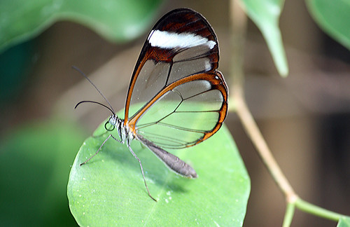 Glasswing butterfly 4