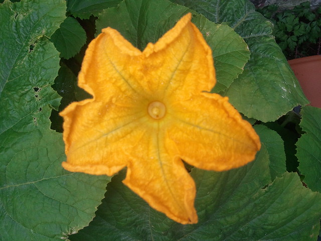male pumpkin fl...