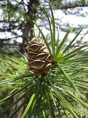 arecales(0.0), grass(0.0), plant(0.0), fauna(0.0), conifer cone(0.0), larch(1.0), conifer(1.0), flower(1.0), branch(1.0), pine(1.0), leaf(1.0), tree(1.0), nature(1.0), macro photography(1.0), flora(1.0), green(1.0), close-up(1.0), fir(1.0), spruce(1.0),