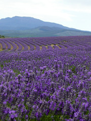 The Bridestowe Estate Lavender Farm