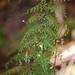 Asplenium schizophyllum