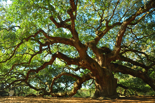 ocean wood old trees tree history beach beauty leaves giant landscape amazing ancient southcarolina historic charleston southern angeloak