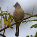 Gray Silky-Flycatcher (Ptilogonys cinereus) por *Ryan Shaw