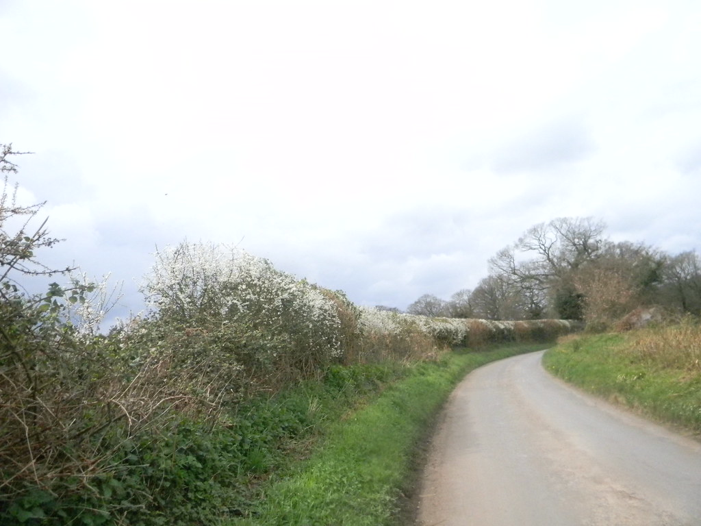 Blackthorn in hedge Goring Circular (YHA map walk)