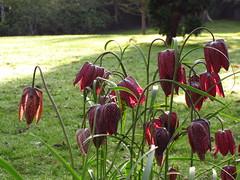 flower, garden, plant, flora, fritillaria meleagris,