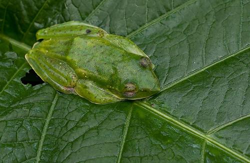 Malayan Flying Frog, <i>Rhacophorus prominanus </i>IMG_1454 copy