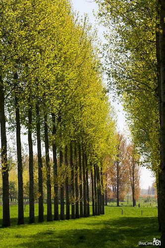 trees shadow sunlight leaves spring bomen meadow blad lente schaduw weiland poplars haspengouw voorjaar freshgreen populieren bracom bramvanbroekhoven
