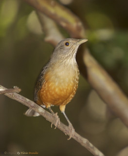 Sabiá-Laranjeira (Turdus rufiventris): o pássaro dos poetas - Rufous-bellied Thrush - 21-04-2011 - IMG_0159_2