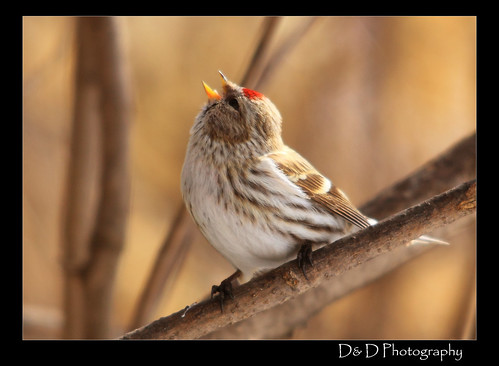 common red poll singing
