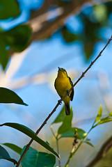 Baby Olive-backed Sunbird