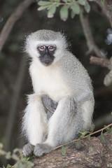 Vervet monkey Krugersdorp game reserve