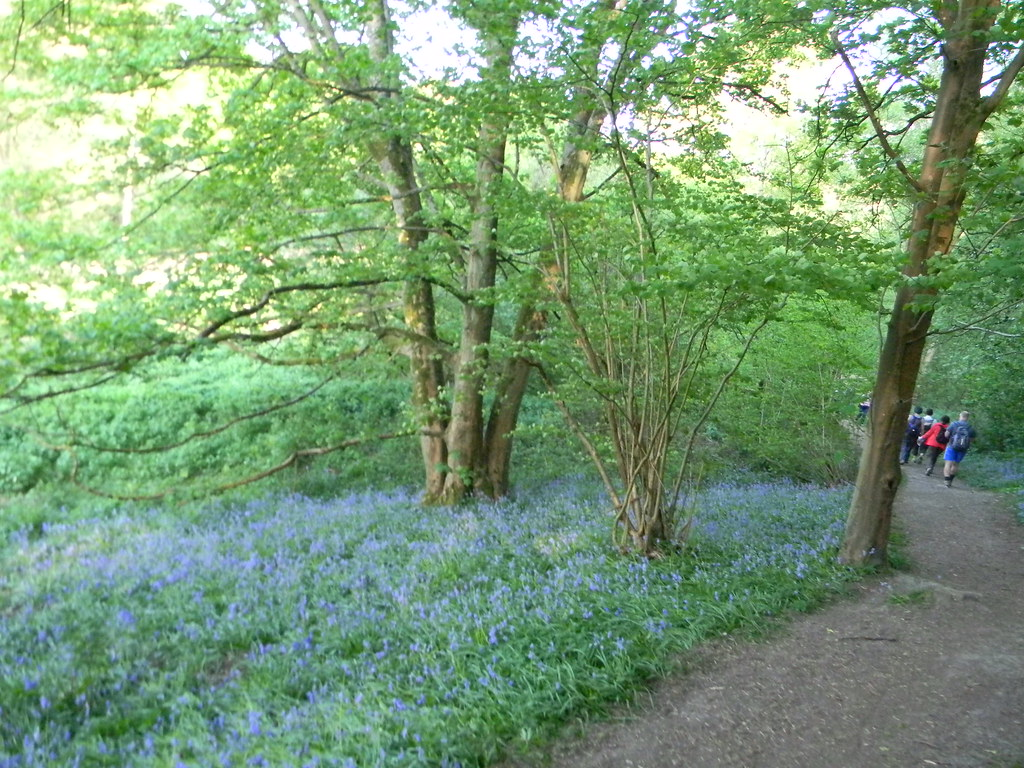 Bluebells Friezeland Wood Frant to Tunbridge Wells