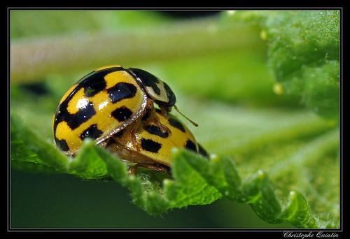 Coccinelle à damier (Propylea quatuordecimpunctata)