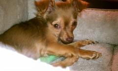 Image: Esteban the  Paraplegic Chihuahua Needs a Home!