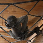 baby_woolly_monkey
