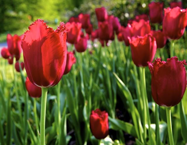 symbolism of the red tulip flickr photo sharing. Black Bedroom Furniture Sets. Home Design Ideas