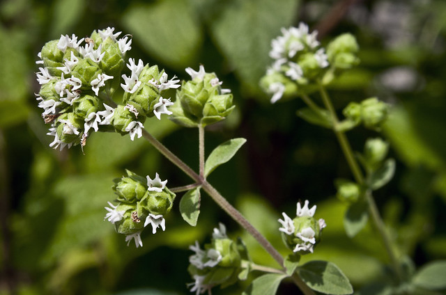 origanum majorana marjoram flowers flickr photo sharing. Black Bedroom Furniture Sets. Home Design Ideas