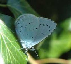 Holly Blue (Tony Irwin)
