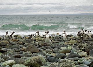 Magellanic Penguin - Isla Magdalena