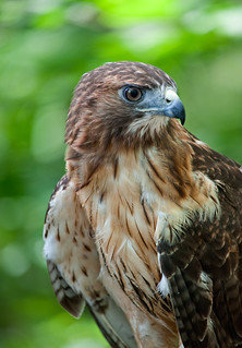 Red-tailed Hawk (Buteo jamaicensis) [captive]