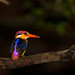 Oriental Dwarf Kingfisher by santanu nandy