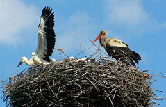 bird of prey(0.0), bald eagle(0.0), animal(1.0), wing(1.0), fauna(1.0), ciconiiformes(1.0), white stork(1.0), beak(1.0), bird(1.0), wildlife(1.0),