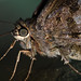 Small photo of Hesperiidae