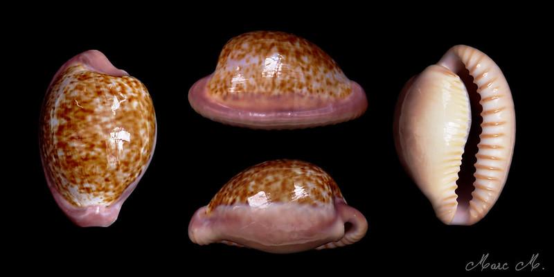 Cypraeovula fuscorubra (Shaw, 1909)