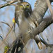 Ferruginous_Pygmy-owl_Tehuantepec_Oaxaca_Mexico_2004_12_22_058.jpg por maholyoak