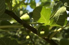 evergreen, branch, leaf, tree, sunlight, common fig, flora, green, fruit,