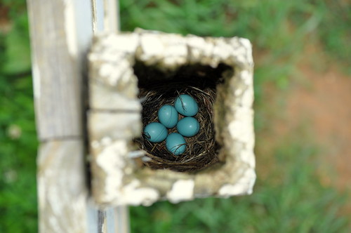 Blue Bird Eggs in a Fence Post