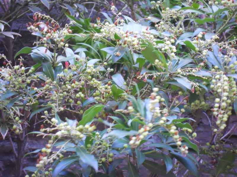 Pieris japonica 5