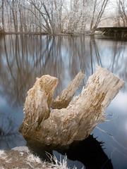 Dead Tree in the Water