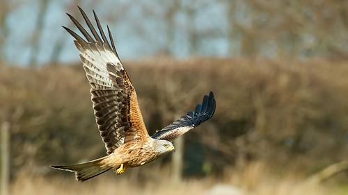 wales nikon raptor birdsofprey bif redkite gigrin 300mmf4afs d7000 nikon17etc