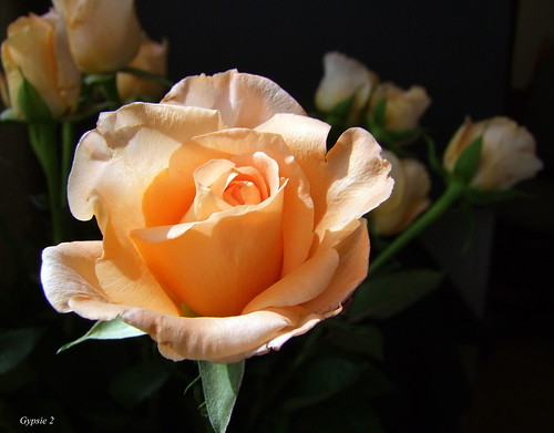 Rose in the Spotlight! by gypsie2 ~