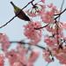 Feeding from sakura, Ueno park (Tokyo, Japan) by marcusuke