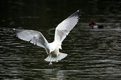 Seagull landing on water