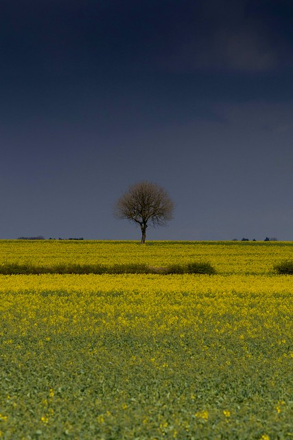 A little tree in a field of gold