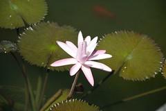 Pond Flower w/ pads