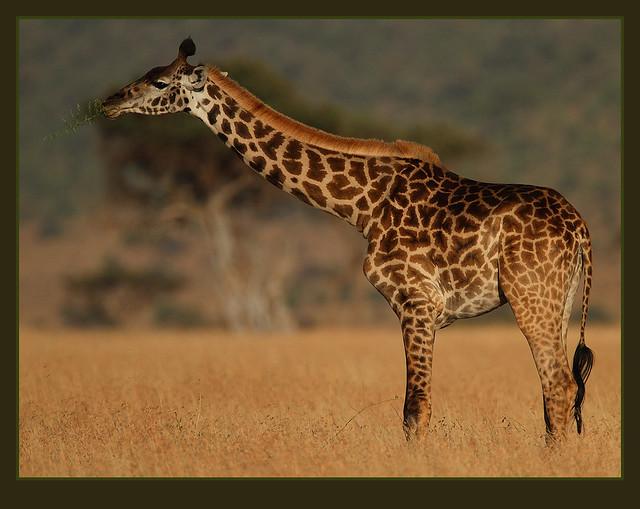 Strange creatures! | A female Masai Giraffe knee-deep in ...