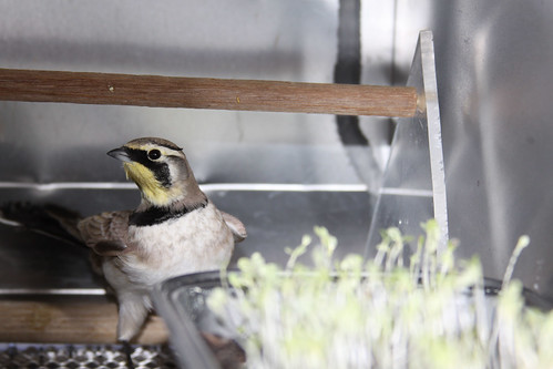 A captive horned lark is offered lettuce seedlings treated with a bird repellent. Photo by USDA Wildlife Services