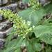 Hydrangea quercifolia, Cheekwood Botanical Garden, Nashville, Tennessee