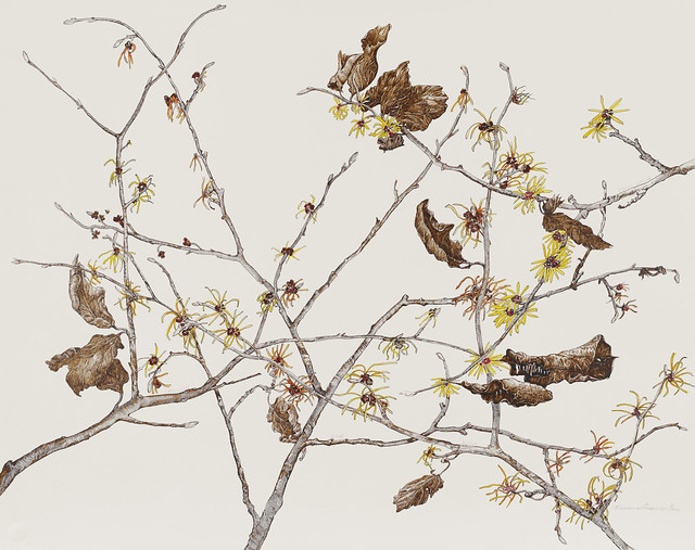 "Francesca Anderson, Hamamelis cvs., 2010.  Rock Garden. Pen and ink on Strathmore 500 series Bristol hot press. 22"" x 30""."