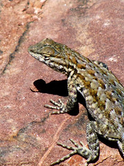 animal, reptile, lizard, fauna, lacerta, scaled reptile, wildlife,