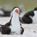 Black Skimmer Parent and Chick