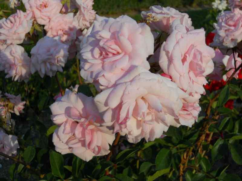Rosa centifolia 2