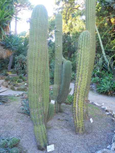 Echinopsis pasacana v 2